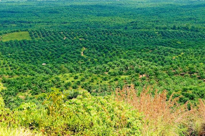 plantation palmier huile indonesie