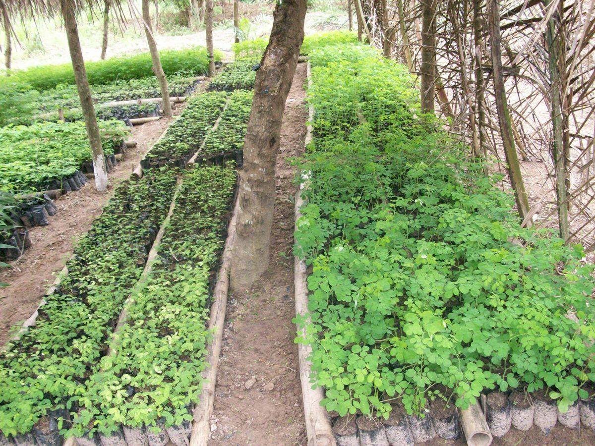 agroforesterie ghana afrique