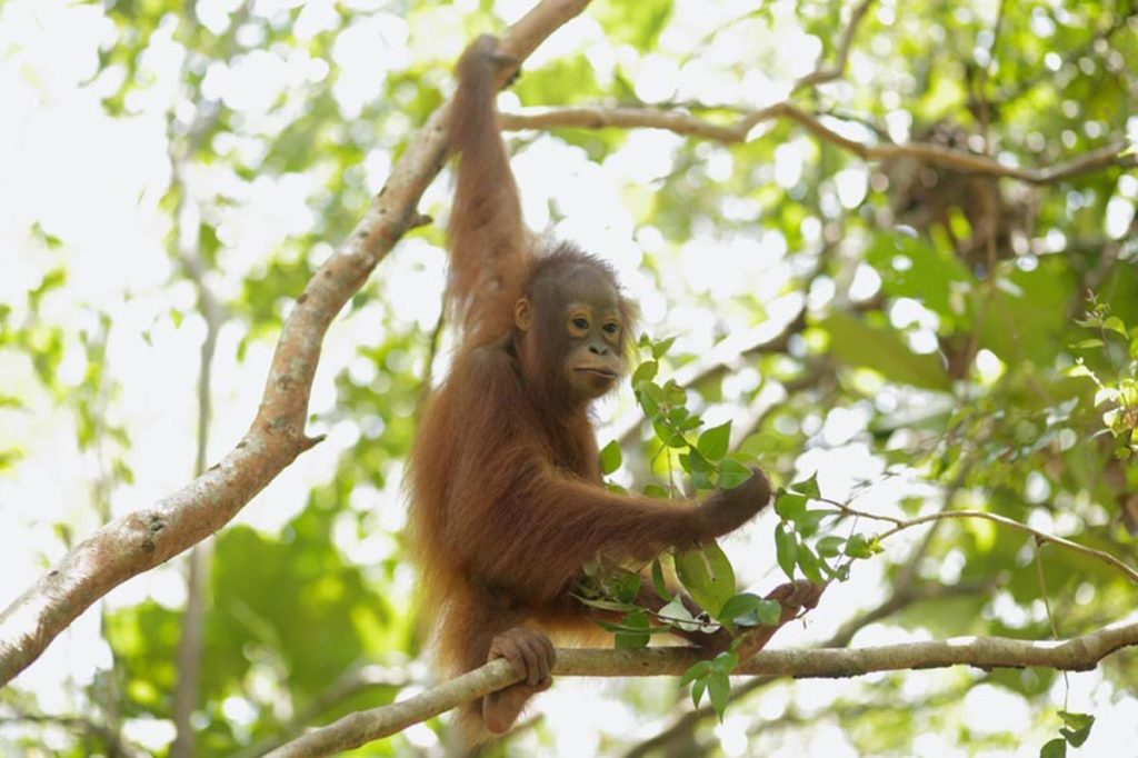 deforestation indonesie orang outan