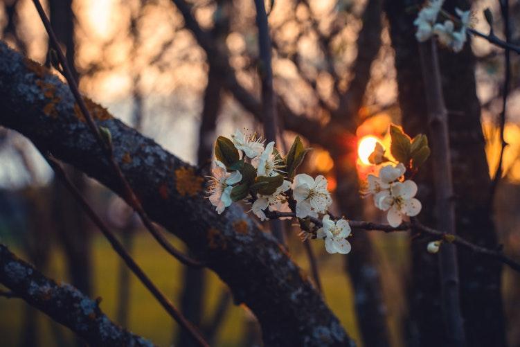 merisier fleurs