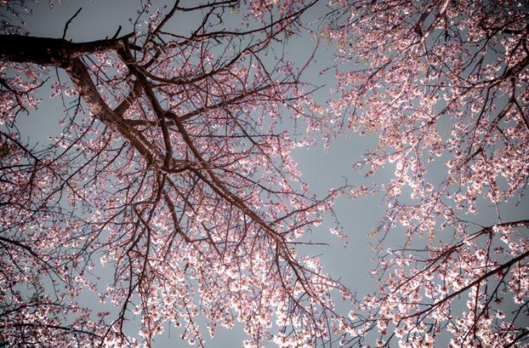 Il était une fois : un arbre qui s'appelle Merise !