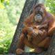 orang-outan biodiversite