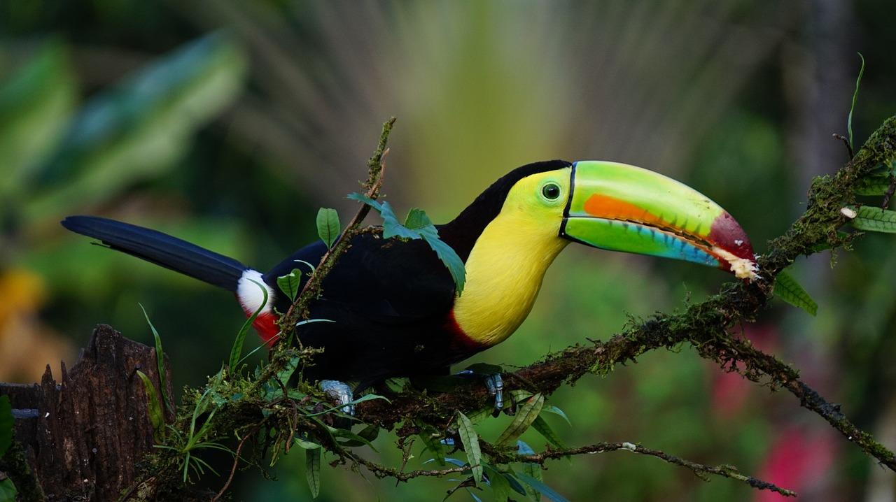 toucan biodiversite